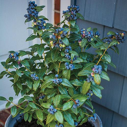 Blueberry Perpetua Bushel and Berry®