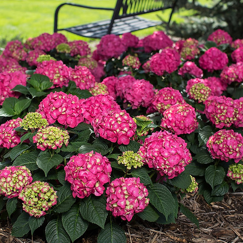 Hydrangea Endless Summer® Summer Crush