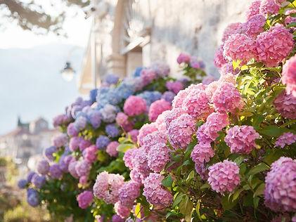 Endless Summer Hydrangeas.jpg