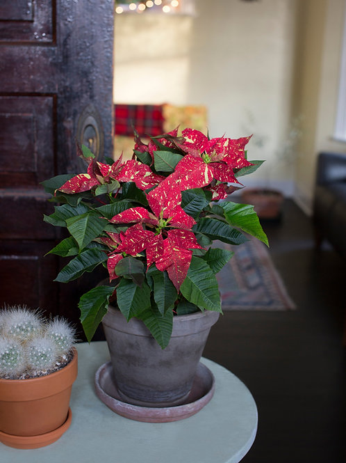 Poinsettia Red Glitter
