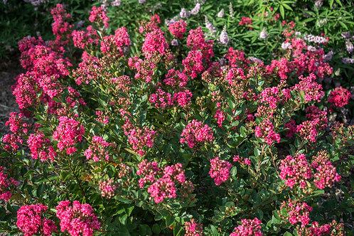 Crape Myrtle Raspberry Bellini®