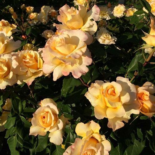 Rose Sunny Sky Eleganza®