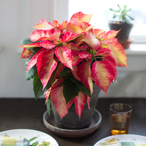 Poinsettia Ice Crystal