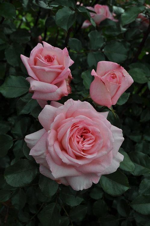 Rose Savannah Sunbelt®