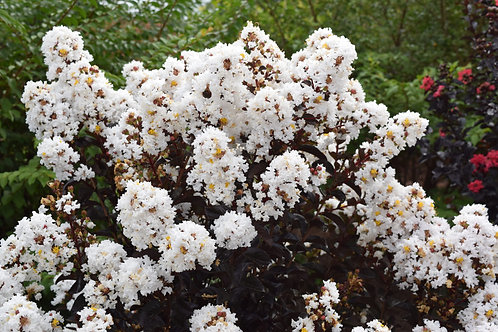 Crape Myrtle Lunar Magic First Editions®