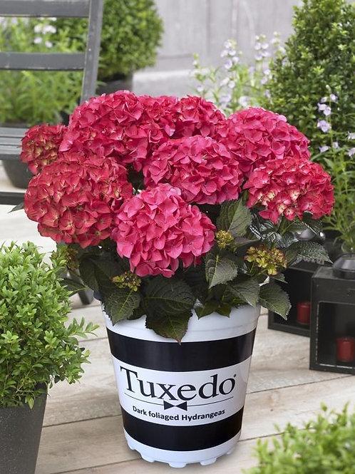 Hydrangea Tesselaar Tuxedo®