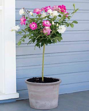Duet Rose Tree