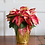Thumbnail: Poinsettia Ice Crystal