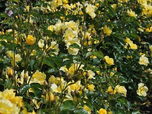 Rose Lemon Fizz Kolorscape®