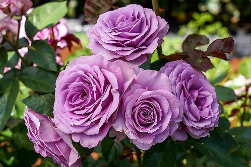 Rose Quicksilver Arborose®