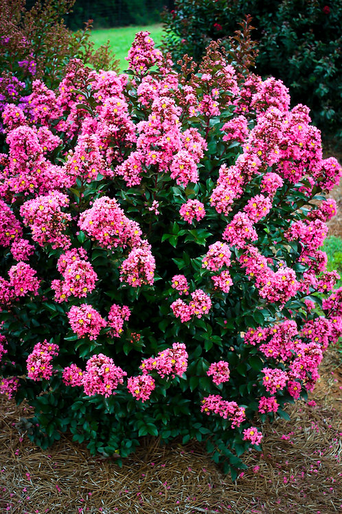 Crape Myrtle Coral Magic First Editions®