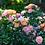 Thumbnail: Rose Peach Drift®