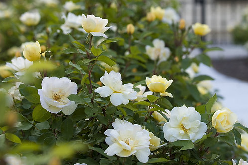 Rose Sunny Knock Out®