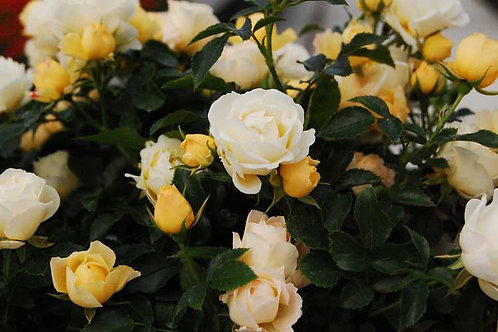 Rose Popcorn Drift®