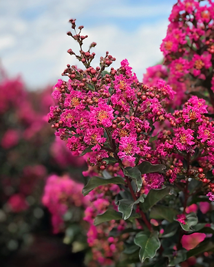 First Editions Crape Myrtle