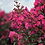 Thumbnail: Crape Myrtle Plum Magic First Editions®