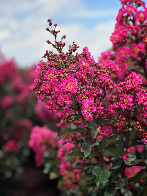 Crape Myrtle Plum Magic First Editions®