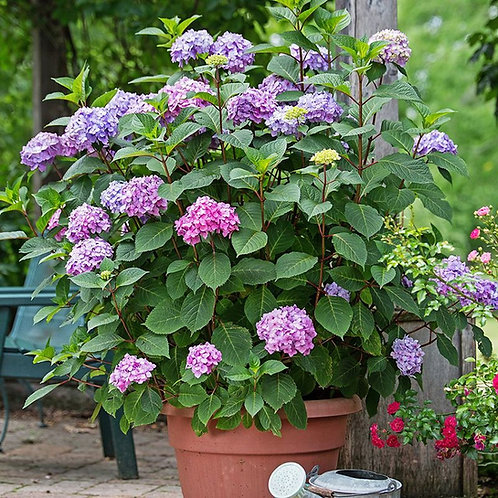 Hydrangea Endless Summer® BloomStruck