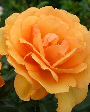Sunbelt Roses