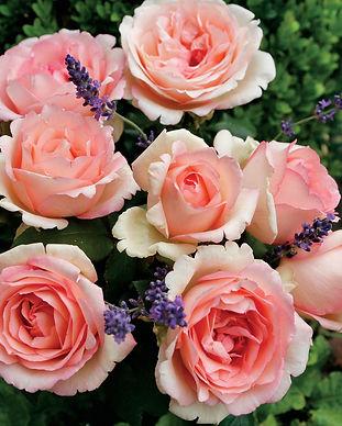 Eleganza Roses