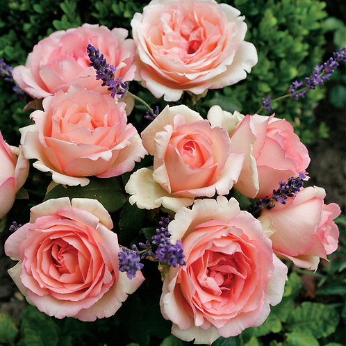 Rose Pink Enchantment Eleganza®