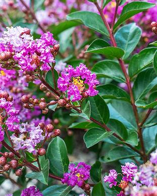 Bloomables Crape Myrtle