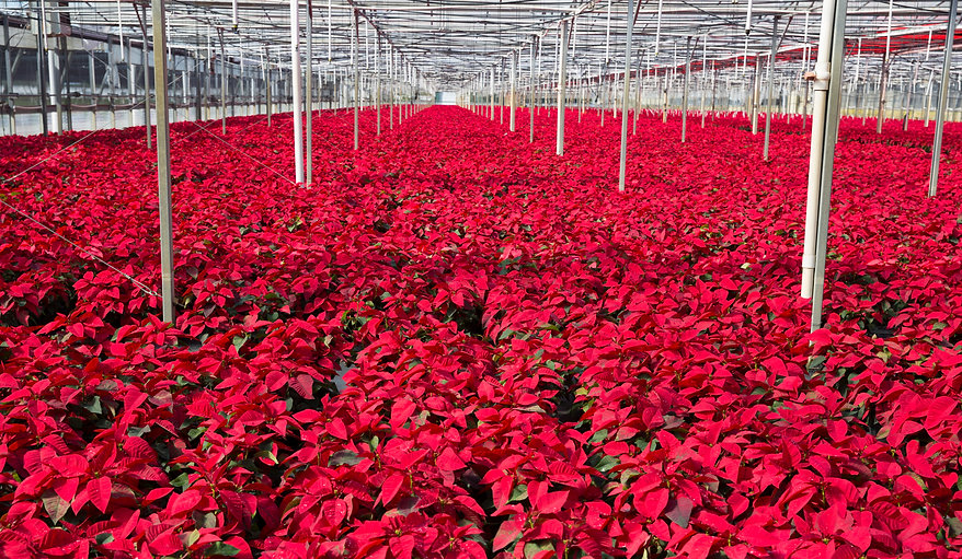 Poinsettia Greenhouse .jpg