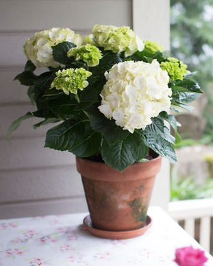 Rooted Brilliance Hydrangea