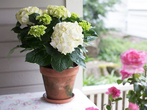 Hydrangea Rooted Brilliance®