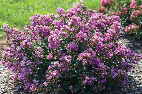 Crape Myrtle Grape Bellini®