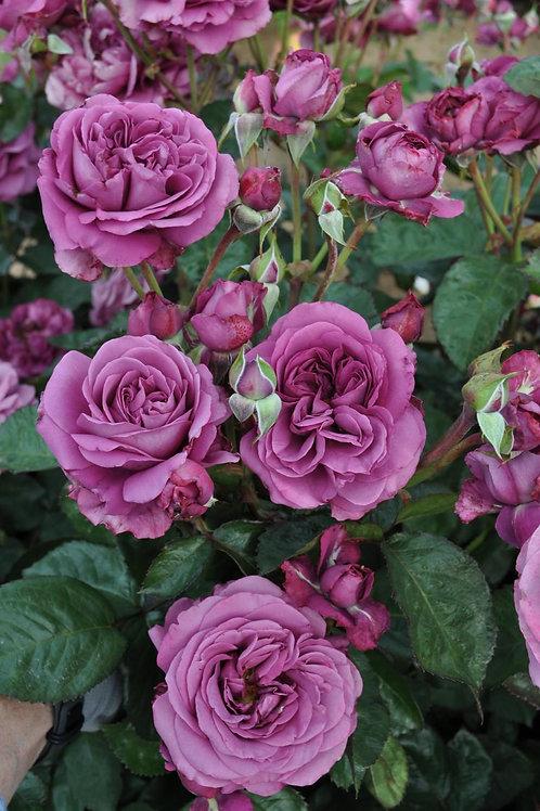 Rose Plum Perfect Sunbelt®
