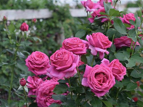 Rose Miranda Lambert®