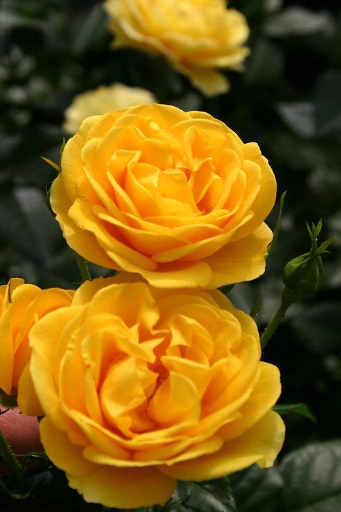 Rose Sunbeam Veranda®