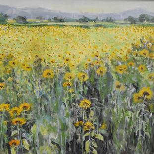 Hopland Sunflowers #2