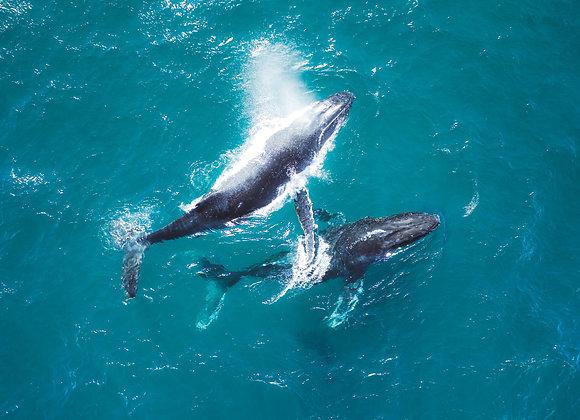 Humpback Whale - RLML020 - Ross Long Photography - Print Sale