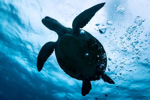Ross Long Photography - Turtle Great Barrier Reef.jpg