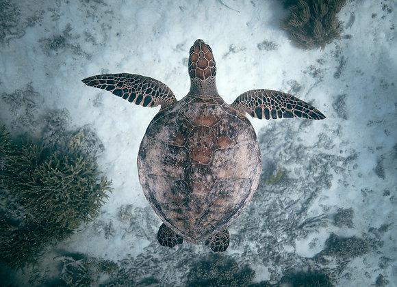 Turtle - RLML040 - Ross Long Photography - Print Sale