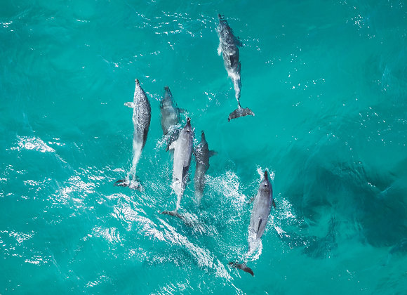 Dolphins - RLML016 - Ross Long Photography - Print Sale