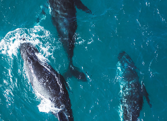 Humpback Whale - RLML027 - Ross Long Photography - Print Sale