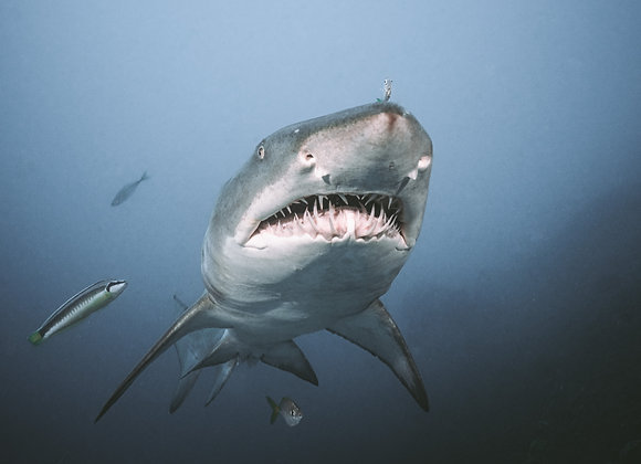 Grey Nurse Shark - RLML030 - Ross Long Photography - Print Sale