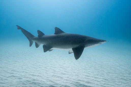 Ross Long Photography - Grey Nurse Shark Seal Rocks.jpg