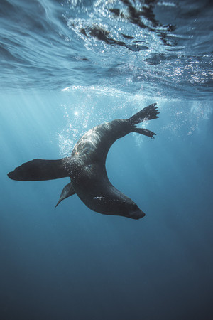 Ross Long Photography - Seal Jervis Bay.