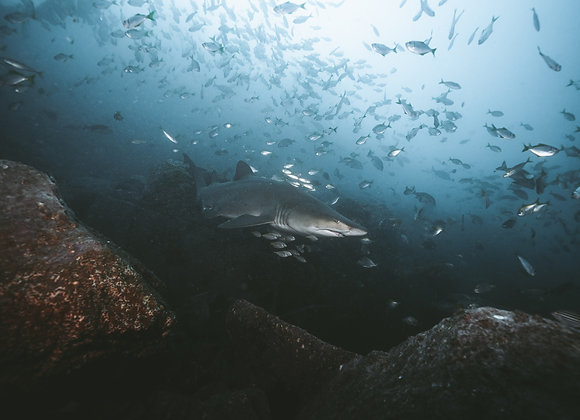 Grey Nurse Shark - RLML029 - Ross Long Photography - Print Sales