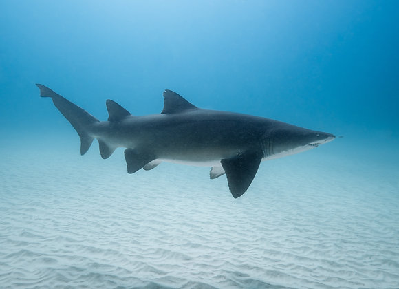 Grey Nurse Shark - RLML032 - Ross Long Photography - Print Sales