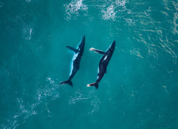 Humpback Whale - RLML014 - Ross Long Photography - Print Sale
