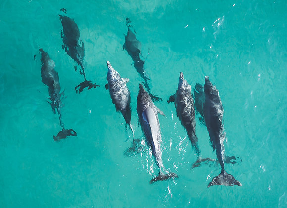 Dolphins - RLML007 - Ross Long Photography - Print Sale