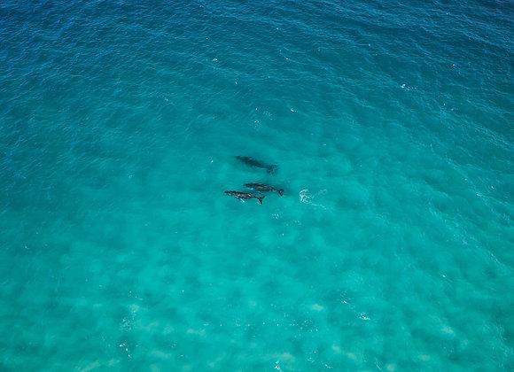 Humpback Whale - RLML019 - Ross Long Photography - Print Sale