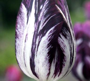 Grow a $750,000 Tulip