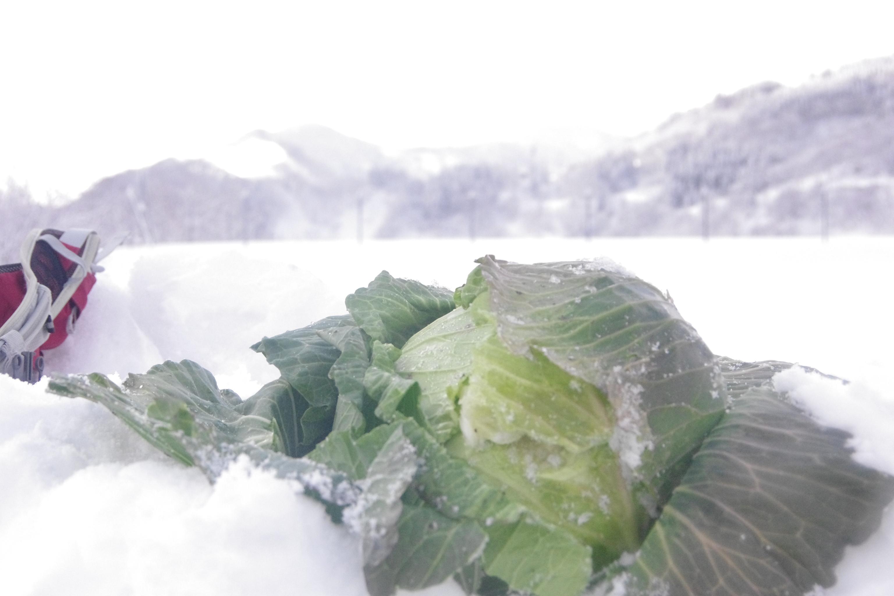 ~雪中キャベツ収穫~ 前日大雪だと掘るの大変だよ