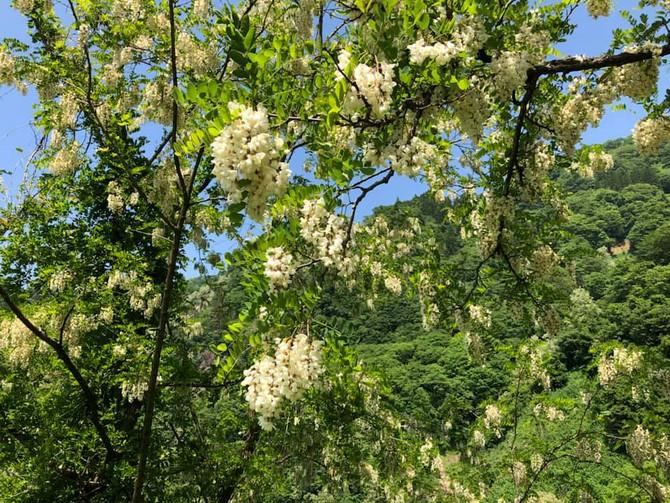 ニセアカシアの香りに包まれる季節